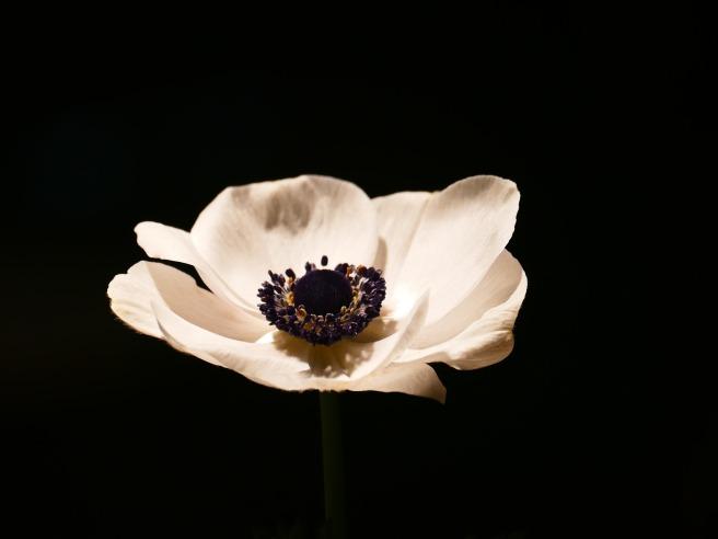 anemone-652539_1920